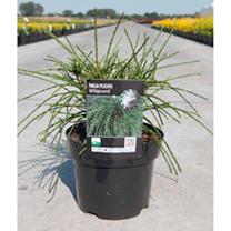 Thuja plicata Plant - Whipcord