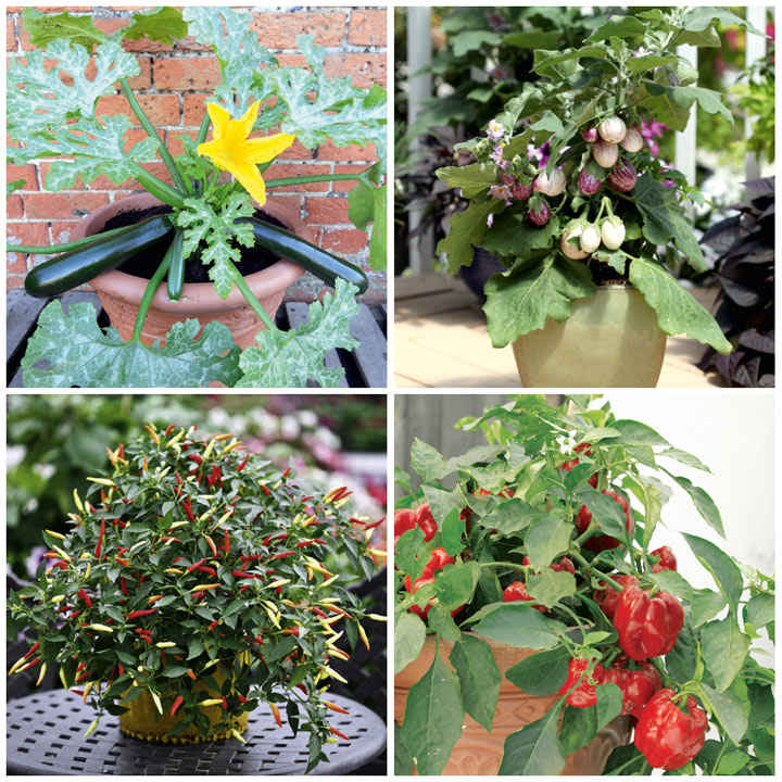 Vegetable Patio Plant Collection
