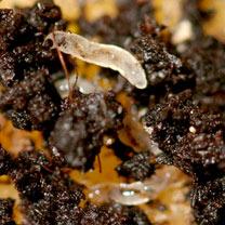 Fungus Fly Killer - 50 Million
