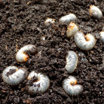 Nemasys Chafer Grub Killer  - 500m