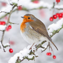 Robin in the Snow Cards