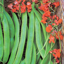 Image of Bean Runner (Organic) Seeds - Lady Di