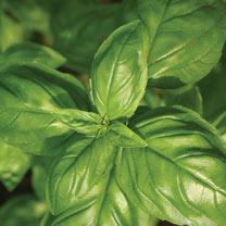 Herb (Organic) Seeds - Basil Genovese