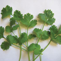 Herb (Organic) Seeds - Coriander Cilantro