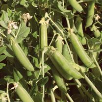 Pea (Organic) Seeds - Ambassador
