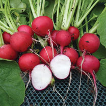 Radish (Organic) Seeds - Cherry Belle