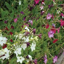 Image of Nicotiana (Organic) Seeds - Mix