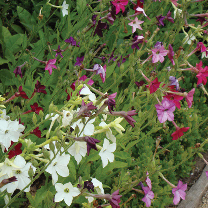 Nicotiana (Organic) Seeds - Mix