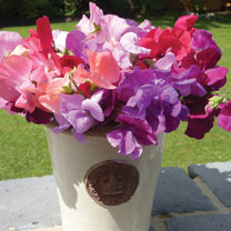 Sweet Pea (Organic) Seeds - Spencer Mix