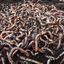 Brandling Worms for Compost (500)