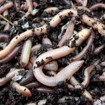 Earthworms (average 100)