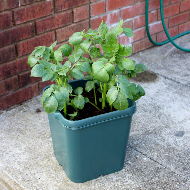 Potato Pots - Pack of 3