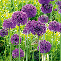 Allium Plant - Purple Sensation