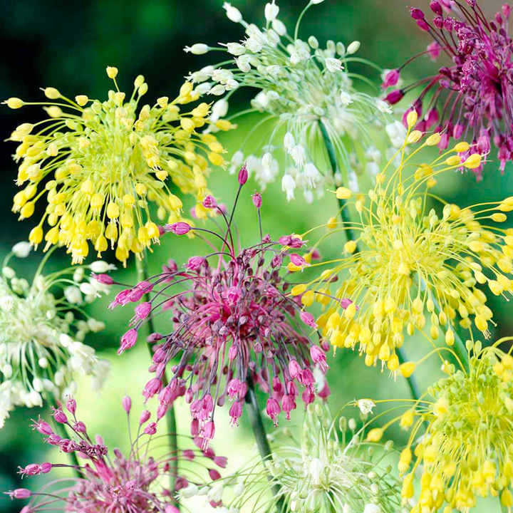 Allium Bulbs - Fireworks Mix