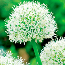 Allium Bulbs - Mount Everest