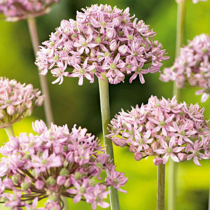 Allium Bulbs - Pink Jewel
