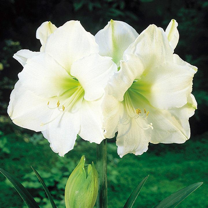 Amaryllis (Indoor) Bulb - White