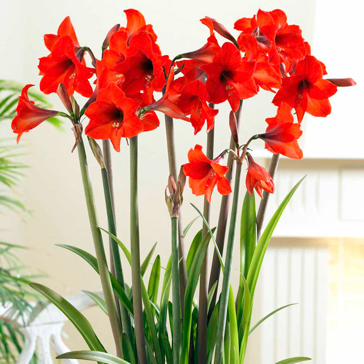 Amaryllis Bulb Red Garden