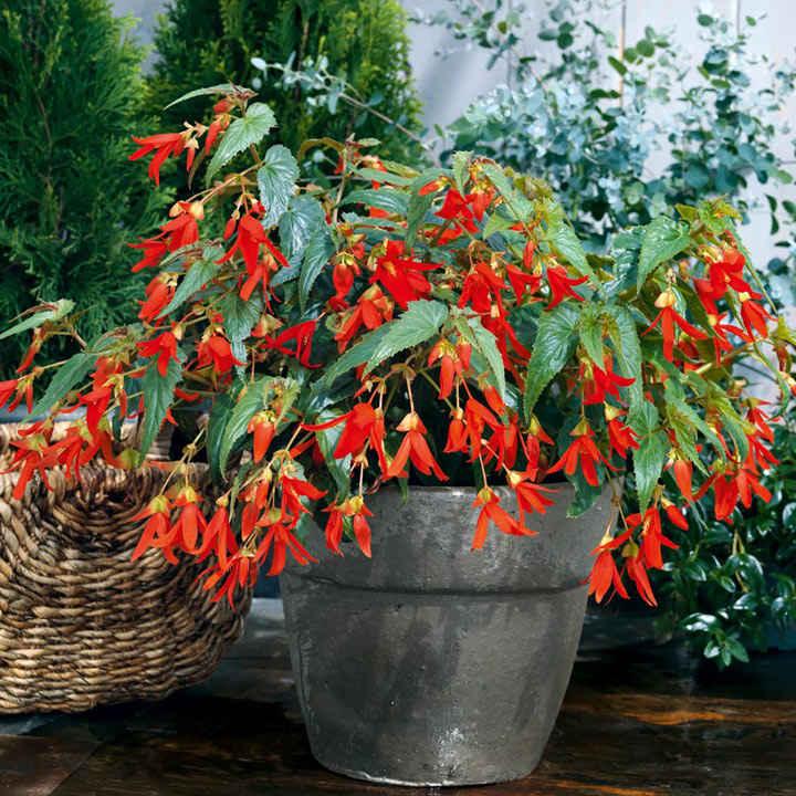 Begonia Plants - Santa Cruz