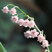 Lily of the Valley (Pink)