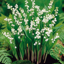 Lily of the Valley Bulbs
