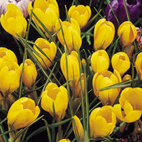Crocus Jumbo Bulbs - Yellow Mammoth