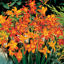A clump-forming, drought-tolerant hardy perennial, producing lush green, sword-like foliage topped with spikes of fiery, freesia-like blooms. Flowers