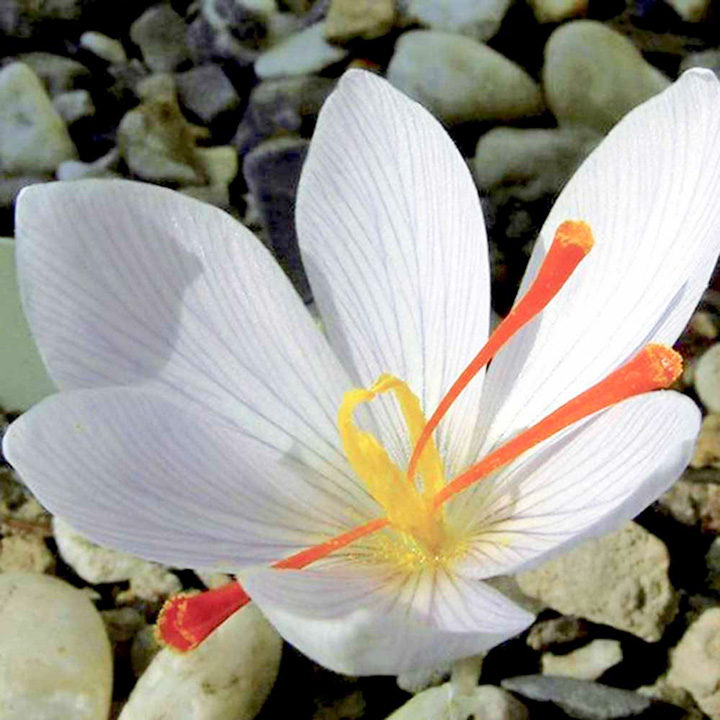 Saffron crocus bulbs white mightylinksfo