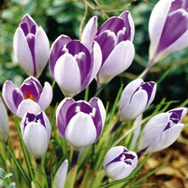 Crocus Jumbo Bulbs - Vanguard