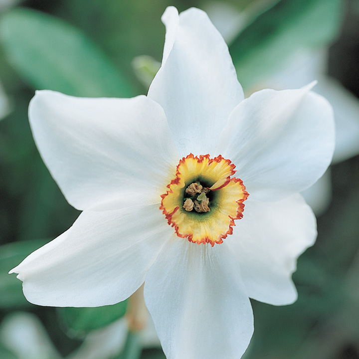 Daffodil Bulbs - Pheasant Eye