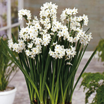 Plant bulbs in mid-October and the pretty congregations of sweetly-scented, pure white flowers (each with a contrasting yellow stamen) will pop up in
