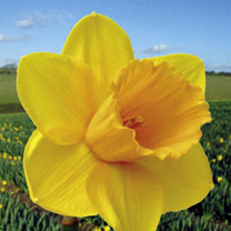 Daffodil (Cornish) Bulbs - Trelawney Gold