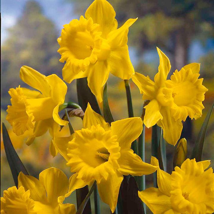 Daffodil Bulbs King Alfred
