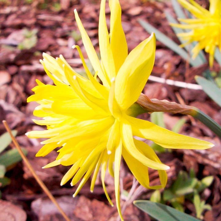 Narcissus Bulbs - Rip Van Winkle