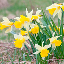 Daffodil (Native British) Bulbs
