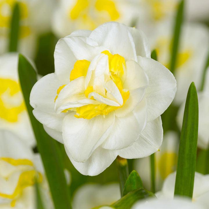 Daffodil Bulbs - Salou