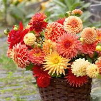 Dahlia Tubers - Orange Collection