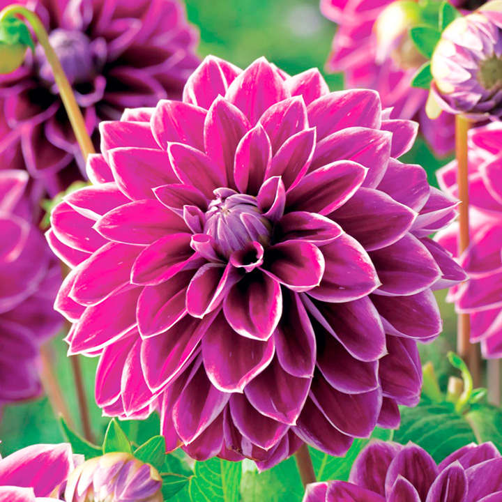 Dahlia Tubers - Purple Pearl
