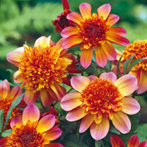 Dahlia Tubers Twin Pack - Floorinoor & Take Off