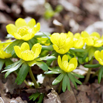 Winter Aconite Bulbs