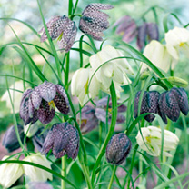 Click to view product details and reviews for Fritillaria Bulbs Meleagris.