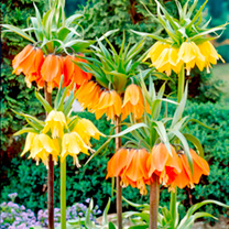 Fritillaria Bulbs - Composers Collection