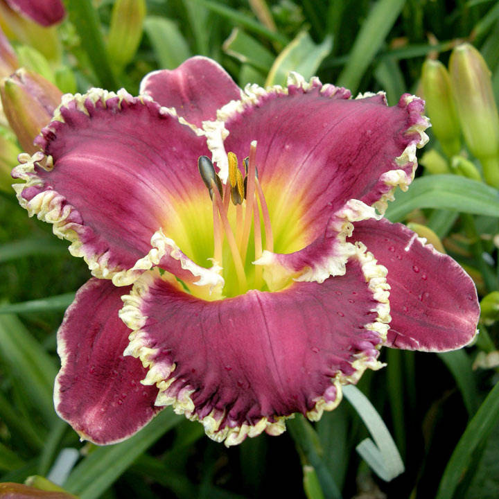 Hemerocallis Bulbs - Bettylen