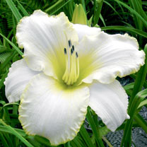 Hemerocallis Bulbs - Blizzard Bay