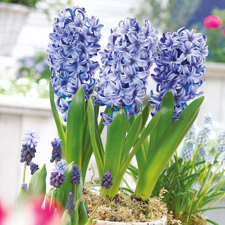 Hyacinth Bulbs (Indoor) - Delft Blue