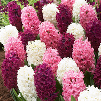 Hyacinth Bulbs - Pretty in Pink