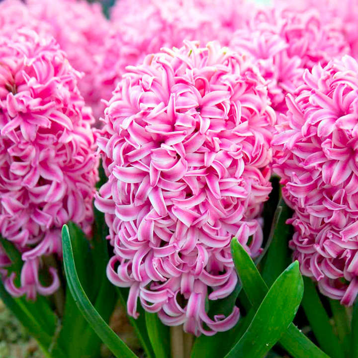 Hyacinth Bulbs (Indoor) - Pink Pearl