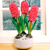 Hyacinth Bulbs (Indoor) - Jan Bos
