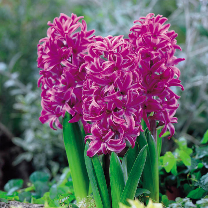 Hyacinth Bulbs - Purple Sensation