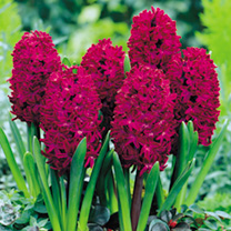 Hyacinth Bulbs - Collection
